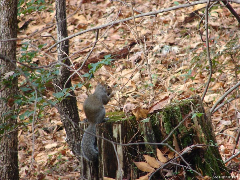 Honeysuckle trail - Squirrel on Stump