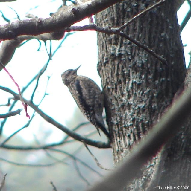 Honeysuckle trail - Hairy Woodpecker
