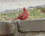 Hot Springs Moutain Top - male Cardinal