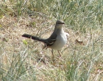 Hot Springs Moutain Top - Northern Mockingbird