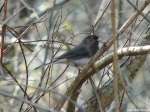 Peak Trail -  male slate-colored dark-eyed junco (Thank You Kathy Loh)