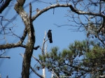 Peak Trail - American Crow Perched in Distance III