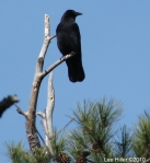 Peak Trail - American Crow Perched in Distance II