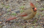 Hot Springs National Park Hot Springs Mt Trail Female Cardinal