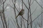 Hot Springs National Park HSMt Trail White Throated Sparrow