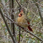 Hot Springs Mountain Trail Female Cardinal