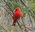 Hot Springs Mountain Trail Male Cardinal
