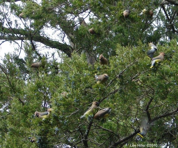 Hot Springs National Park Tufa Terrace Cedar Waxwing Flock