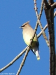 Hot Springs National Park Promenade Cedar Waxwing