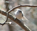 Hot Springs National Park Gulpha Gorge Trail Tufted Titmouse