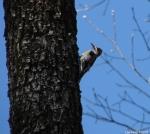 Hot Springs National Park Lower Dogwood Hairy Woodpecker
