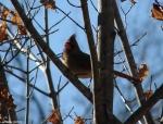 Hot Springs National Park Promenade Cardinal Female