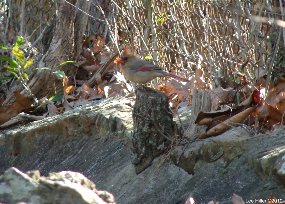 Hot Springs National Park - Dead Chief Trail Cardinal Female