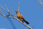 Hot Springs National Park - Carriage Road Robin