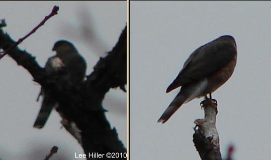 Hot Springs National Park Peak Trail Falcon? Mystery Bird