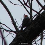 Hot Springs National Park Peak Trail Red Bellied Woodpecker