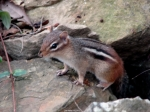Hot Springs National Park Tufa Trail Chipmunk