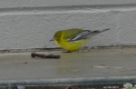 Hot Springs National Park Ice Day Black Throated Green Warbler