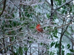Hot Springs National Park Ice Day Tufa Terrace Cardinal