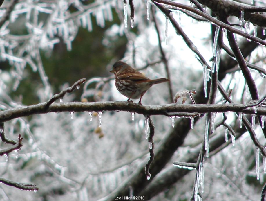 Hot Springs National Park Ice Carriage Rd Fox Sparrow