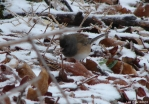 Hot Springs National Park Ice Snow Junco