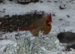 Hot Springs National Park Ice Snow HSMT Cardinal Female