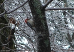 Hot Springs National Park Ice Snow Red Bellied Woodpecker