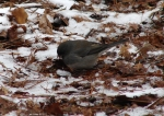 Hot Springs National Park Ice Snow HSMT Slate Junco