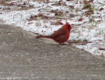 Hot Springs National Park Ice Snow Peak Trail Male Cardinal