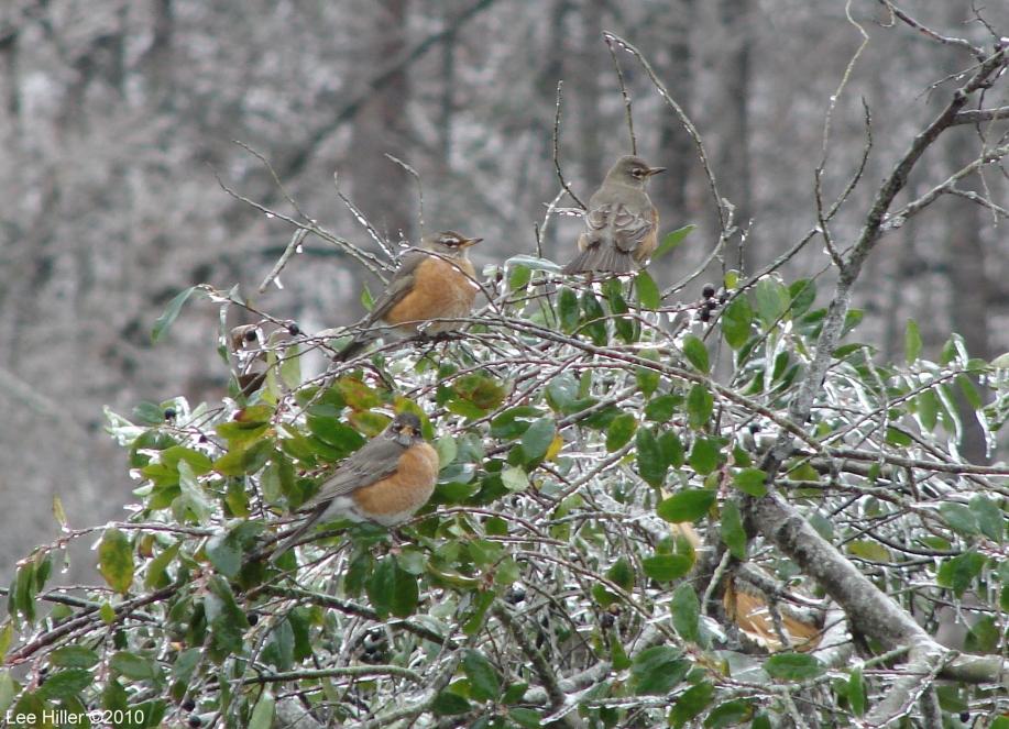 Hot Springs National Park Ice Snow Tufa Terrace Robins