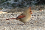 Hot Springs National Park Trails Tufa Terrace Cardinal Female