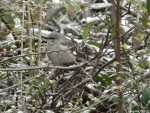 Dead Chief Trail - Northern Mockingbird