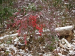 Dead Chief Trail - Red Berry Bush in Snow