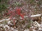 Dead Chief Trail - Red Berry Bush in Snow