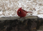 Hot Springs Mountain Top - Cardinal in the snow III