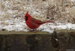 Hot Springs Mountain Top - Cardinal in the snow