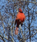 Promenade - Cardinal in the Sun III