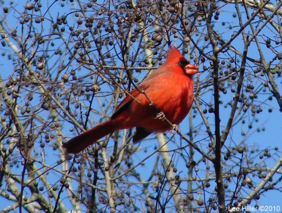 Promenade - Cardinal in the Sun II
