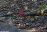 Hot Springs National Park Trails Carriage Rd Cardinal Male