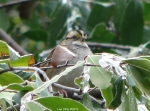 Hot Springs National Park Car. Rd Trails White Throated Sparrow