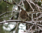 Hot Springs National Park Mountain Trails White Throated Sparrow