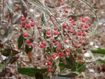 Hot Springs National Park Trails Short Cut Trail Frozen Berries