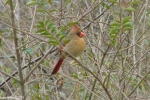 Hot Springs National Park Trails Pagoda Cardinal Female