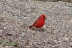 Hot Springs National Park Trails Pagoda Cardinal Male