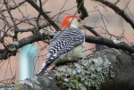 Hot Springs National Park Trails Red Bellied Woodpecker
