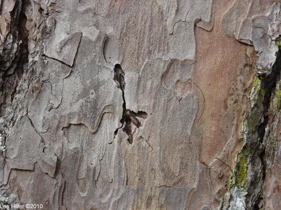 Hot Springs National Park Gulpha Gorge Short Leaf Pine