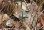 Hot Springs National Park HSMT Blackburnian Warbler