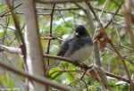Hot Springs National Park HSMT Black-eyed Slate Junco