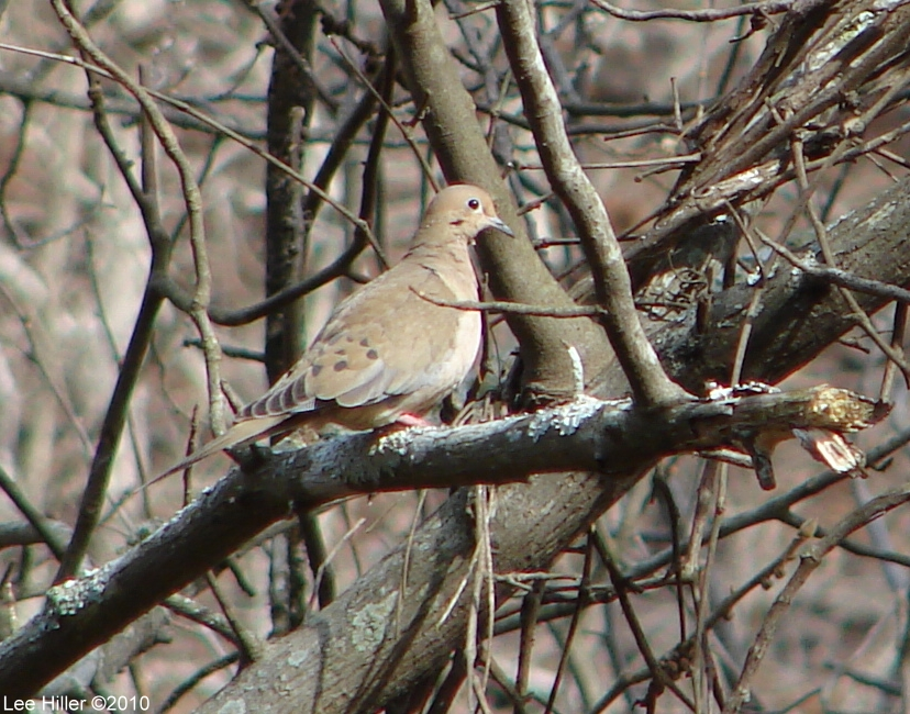 Hot Springs National Park HSMT Mourning Dove