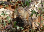 Hot Springs National Park Short Cut Trail Chipmunk